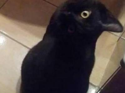 Ворона или кот?