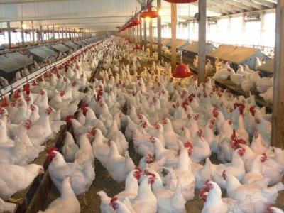 Как покупную курицу очистить от антибиотиков и гормонов