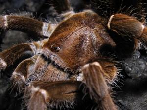 Купить самку Pelinobius muticus в Украине
