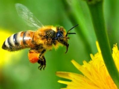 Новый вид пчел