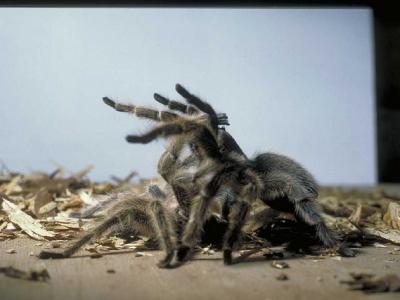 Размножение пауков-птицеедов