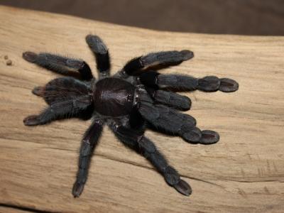 Lampropelma sp. Borneo black самка + самец Л5-6 (6-7см. в размахе лап)