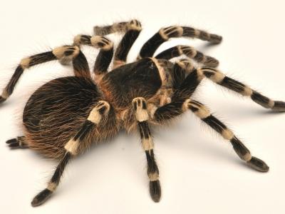 Разведение паука-птицееда Acanthoscurria geniculata