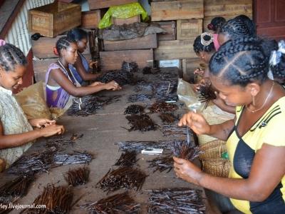 Ваниль - выращивание и обработка
